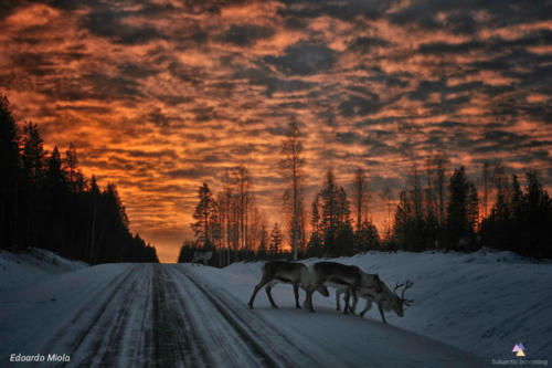 Winter Sunrise with reindeers
